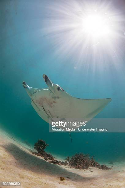 manta in the sun