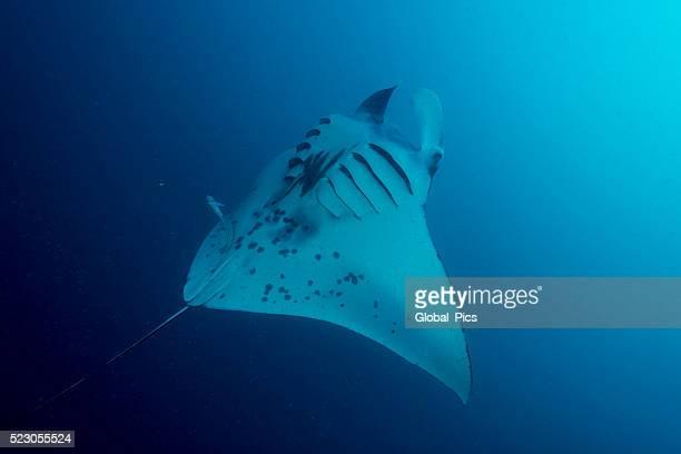 Manta Ray and Plankton - Palau, Micronesia