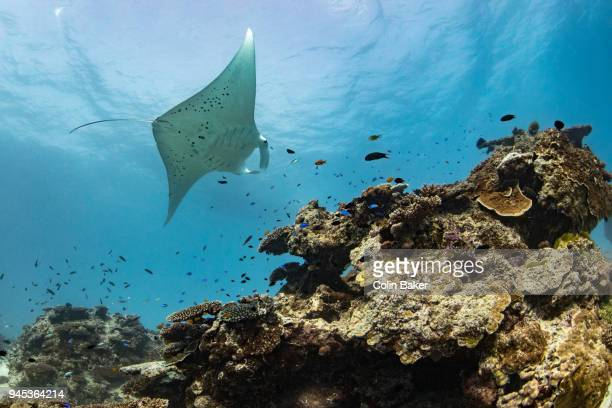 manta ray dreaming - great barrier reef stock pictures, royalty-free photos & images