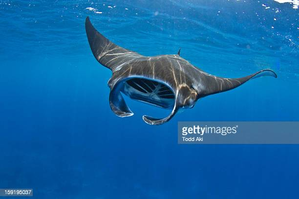 manta ray feeding in Kona, Hawaii