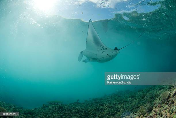 manta ray feeding on plankton