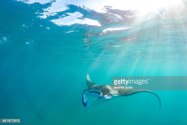 manta ray filter feeding above a coral reef in the blue lagoon waters with sunlight. marine life and colorful coral reef in maldives. underwater inspirational image, website horizontal banner design. - インド洋 ストックフォトと画像