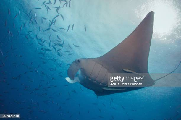 Manta ray in a blue background