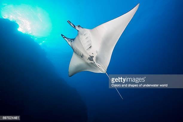 Manta ray in Daedalus Reef