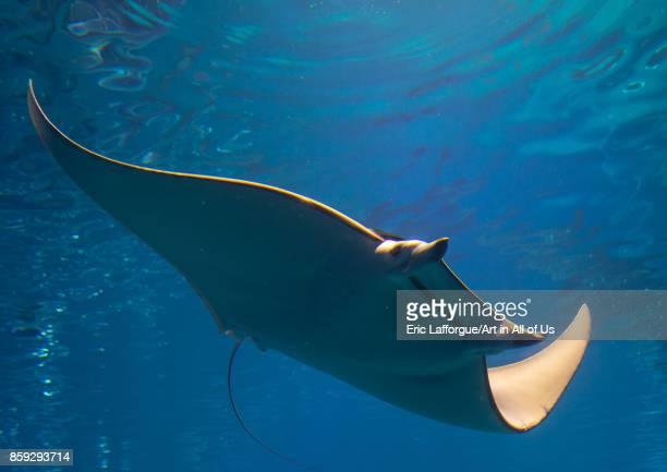 Manta ray in Kaiyukan aquarium Kansai region Osaka Japan on August 19 2017 in Osaka Japan