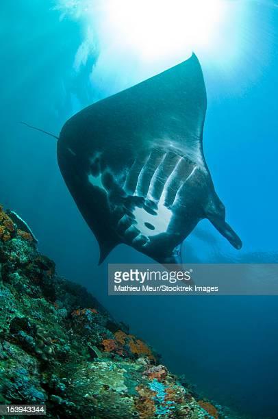 Manta Ray, Komodo, Indonesia.