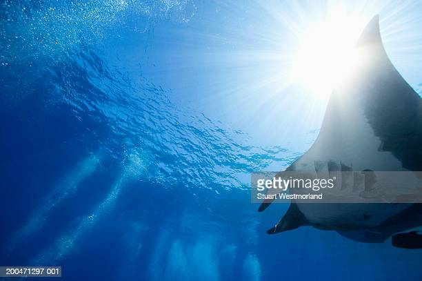 Manta ray (Manta birostris), low angle view