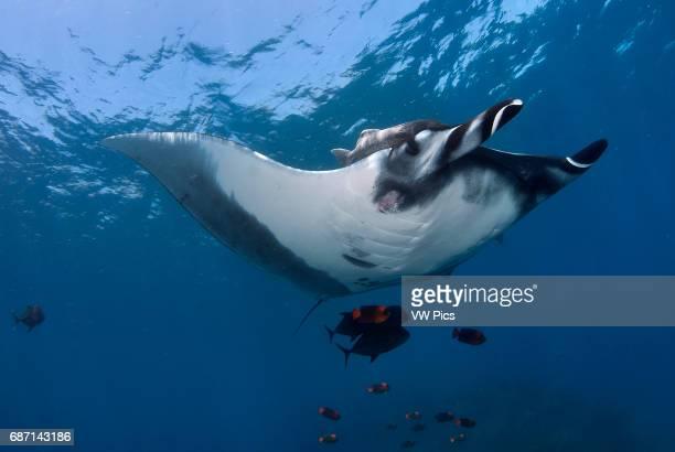 Manta Ray Manta birostris and clarion angelfish on a cleanning estacion Socorro Island Revillagigedo archipelago Pacific ocean Mexico