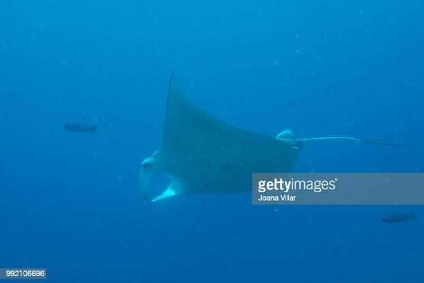 manta ray (reef) - インド洋 ストックフォトと画像