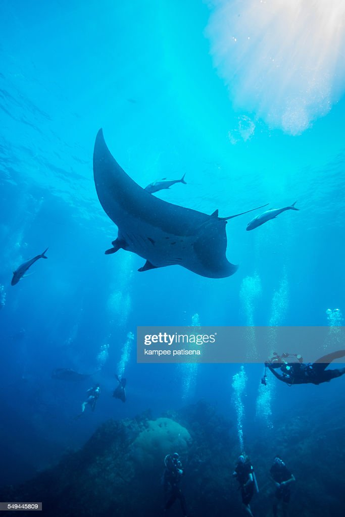 Manta Ray swimming in blue water : Stock Photo