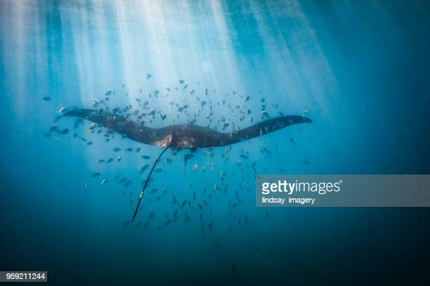 manta ray swimming in sunlight - ray fish stock photos and pictures