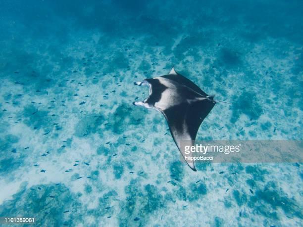 海で泳ぐマンタレイ - インド洋 ストックフォトと画像