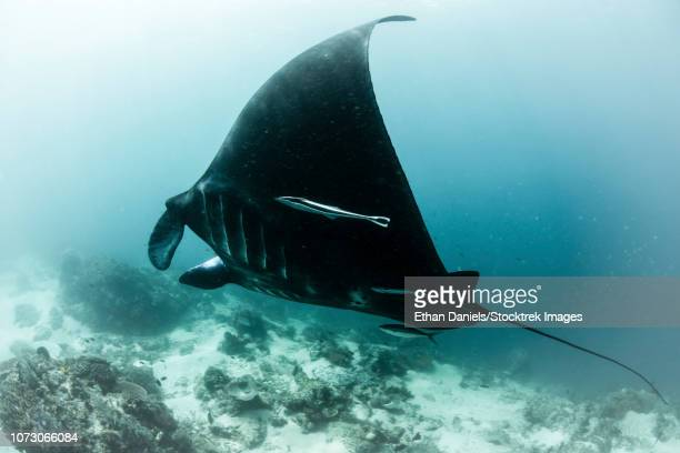 A manta ray swimming near a cleaning station in Raja Ampat, Indonesia.