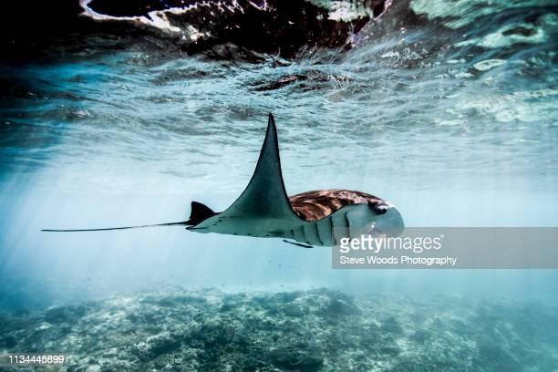 a manta ray (manta alfredi) swimming over coral reef , bali, indonesia - dasiatide foto e immagini stock
