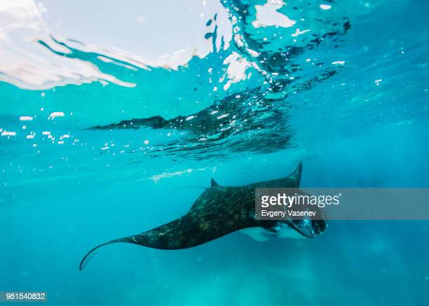 Manta ray swimming underwater, Komodo, Nusa Tenggara Timur, Indonesia