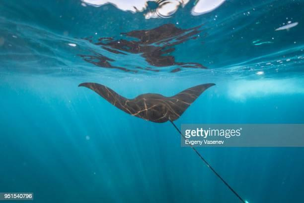 Manta ray swimming underwater, Nusa Penida, Bali, Indonesia