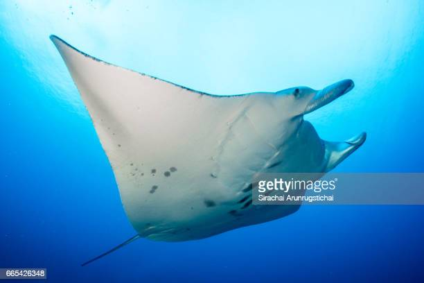 manta ray swims pass the camera under clear blue water