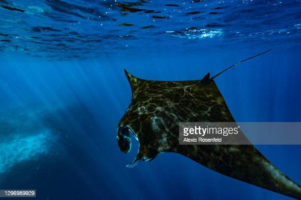 Manta ray swims under the surface on November 26 Mayotte, Comoros archipelago, Indian Ocean. Each year manta rays gather in the lagoon to feed on...