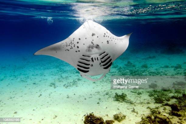 Manta ray turning backwards