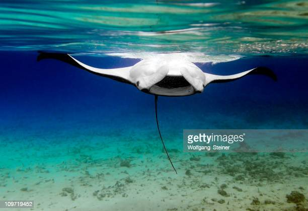 Manta Ray upside down
