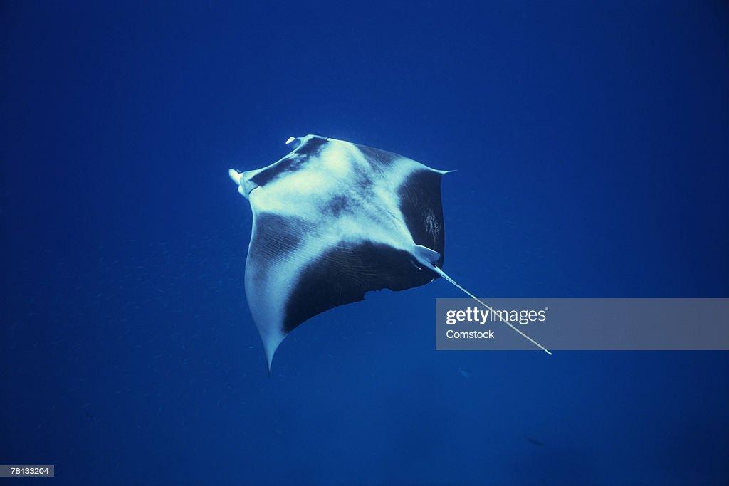 Manta ray with cephalic fins : Stockfoto