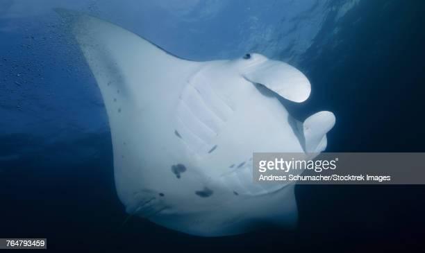 manta ray, yap, micronesia. - animal abdomen stock photos and pictures