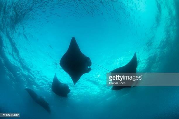 mante e di plancton-palau, micronesia - dasiatide foto e immagini stock