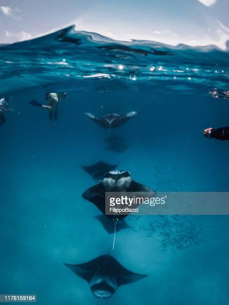 manta rays feeding in the ocean - maldives - dasiatide foto e immagini stock