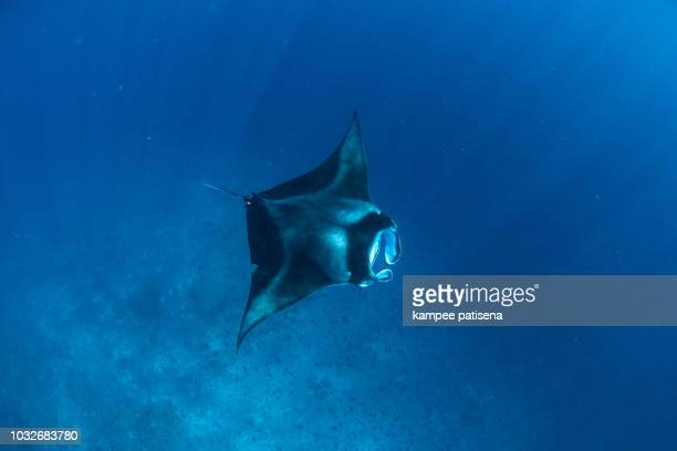 Manta Rays in Hanifaru bay, Maldives