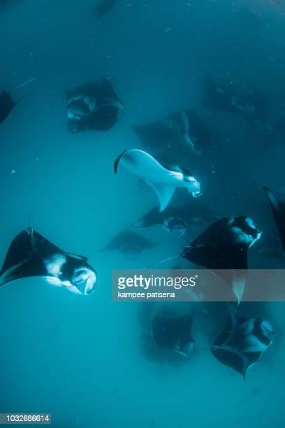 manta rays in hanifaru bay, maldives - plankton stock pictures, royalty-free photos & images