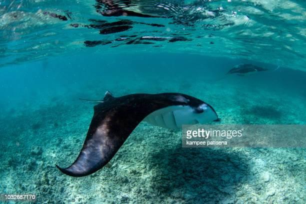 manta rays in hanifaru bay, maldives - dasiatide foto e immagini stock