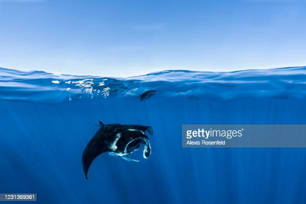 Manta reef ray swims in the Mayotte Marine Natural Park on November 26 Comoros Archipelago, Indian Ocean. Created in 2010, the Mayotte Marine Natural...