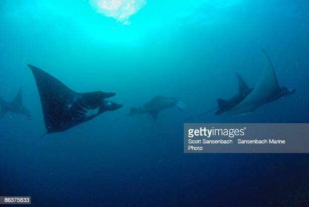 Mantas in the Current