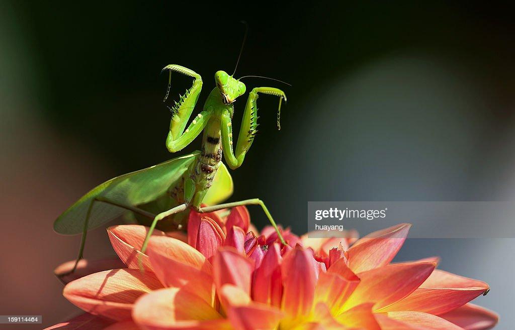 Mantis dancing on dahlia : Stock-Foto