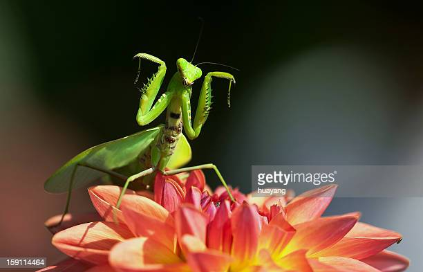 mantis dancing on dahlia - praying mantis stock photos and pictures