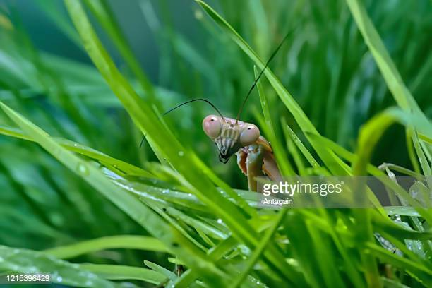 mantis in the grass - arthropod stock pictures, royalty-free photos & images