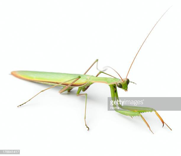 mantis insect isolated on white - praying mantis stock photos and pictures