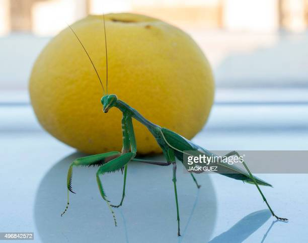 A Mantis Religiosa most commonly known as a Praying Mantis is pictured in front of a grapefruit in the Israeli Mediterranean coastal city of Netanya...