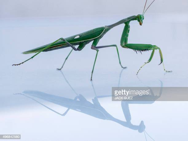 A Mantis Religiosa most commonly known as a Praying Mantis is pictured on a table in the Israeli Mediterranean coastal city of Netanya on November 12...