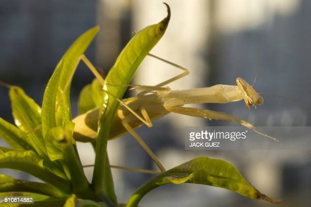 A Mantis Religiosa most commonly known as a Praying Mantis is pictured on a mango tree in the Israeli Mediterranean coastal city of Netanya on...