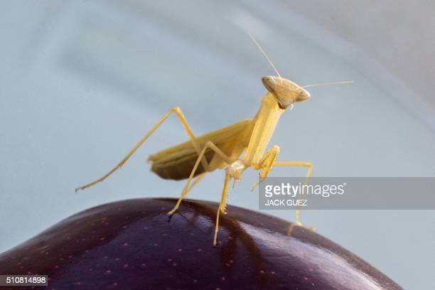 A Mantis Religiosa most commonly known as a Praying Mantis is pictured on a apple in the Israeli Mediterranean coastal city of Netanya on February 17...