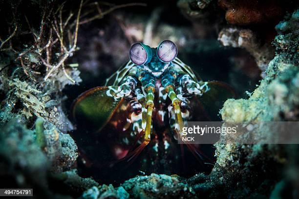 Mantis shrimp focus outside hole