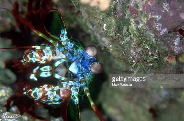 mantis shrimp: odontodactylus scyllaris  lembeh straits, sul awesi,   indonesia