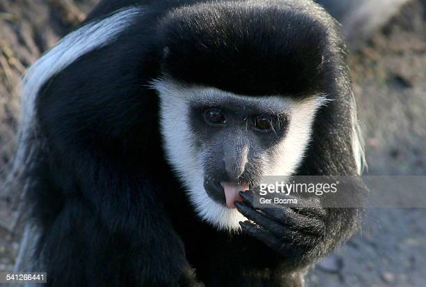 mantled guereza portrait - monkey paw stock photos and pictures