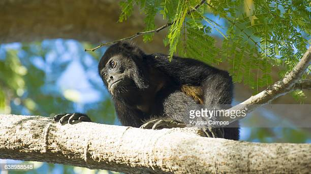 a mantled howler monkey on a branch, guanacaste - costa rica - guanacaste stock pictures, royalty-free photos & images