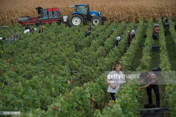 Manual harvesting of grapes takes place on August 30, 2018 in Hautvillers, France. The 2018 harvest has started earlier than usual this year with the...