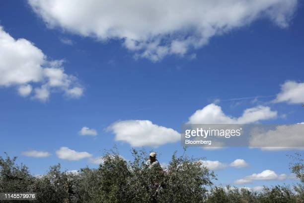 Manuel Sanchez a field worker prunes an olive tree in an olive grove near Moron Air Base in Arahal Spain on Wednesday March 13 2019 The relationship...