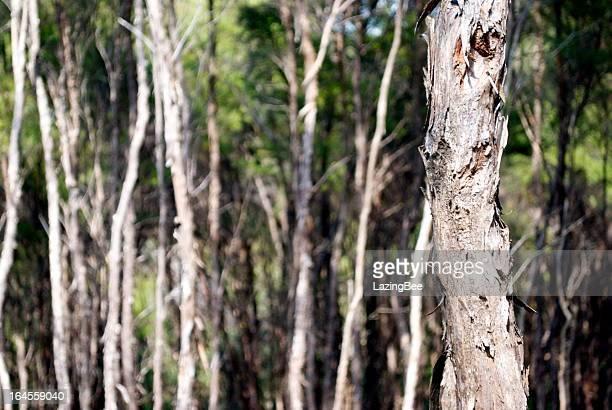 manuka (iron tree) bark - manuka stock photos and pictures