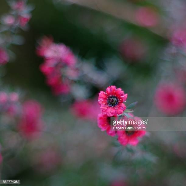 manuka myrtle growing in park - tea tree oil stock photos and pictures