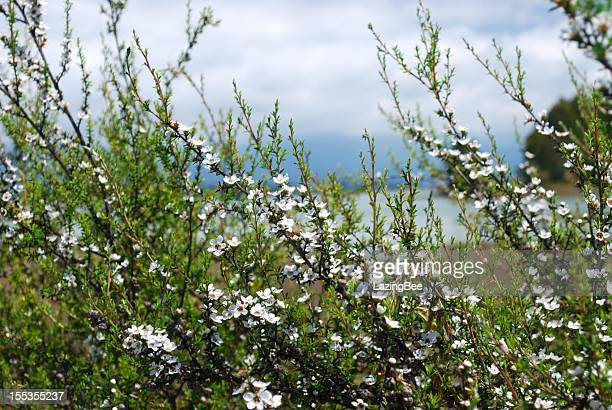 manuka (leptospermum scoparium) tea tree - manuka stock photos and pictures